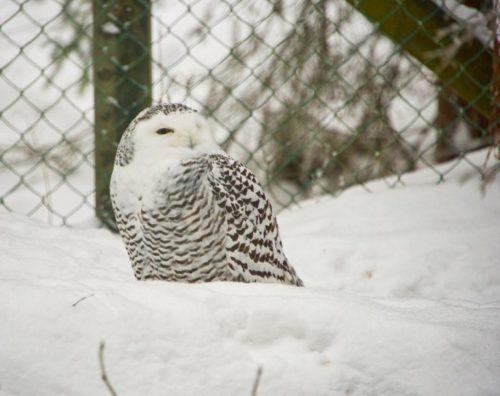 Белая сова в зоопарке Рануа