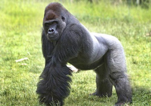 Горилла в зоопарке Лондона