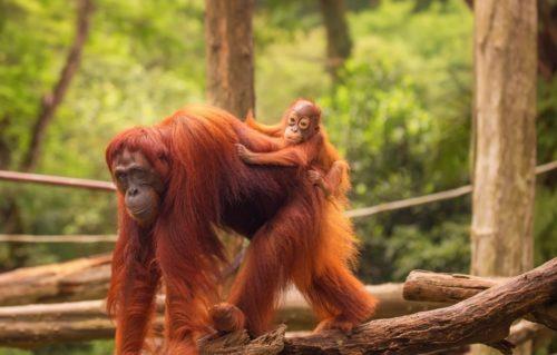 Органгутаны в зоопарке Сингапура