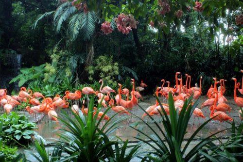 Парк розовых фламинго в Сингапурском зоопарке