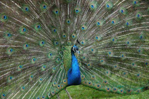 Павлин в зоопарке Лондона