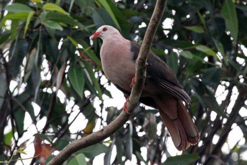 Розовый голубь в зоопарке Лондона