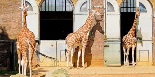 Жирафы в зоопарке Лондона